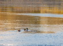 Beautiful mallards male and female swimming on lake surface Royalty Free Stock Photography