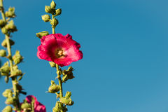 Beautiful mallow Royalty Free Stock Images