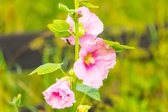 Beautiful mallow flower close up Royalty Free Stock Image