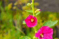 Beautiful mallow flower close up. Popular polish flower growing in garden Stock Photo