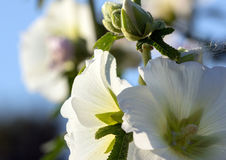 Beautiful mallow flowers on a sunny day. On a blue sky background Stock Photography