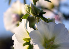Beautiful mallow flowers on a sunny day. On a blue sky background Stock Photos