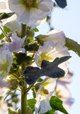 Beautiful mallow flowers on a sunny day. On a blue sky background Royalty Free Stock Images