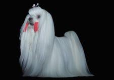 Beautiful Maltese dog Stock Images