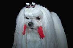 Beautiful Maltese dog Royalty Free Stock Image
