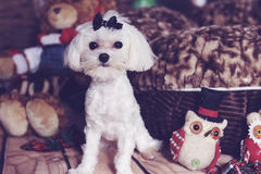 Beautiful maltese female puppy holiday. Image of a Beautiful maltese female puppy holiday Stock Images