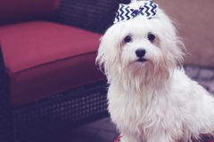 Beautiful maltese with hair bow Royalty Free Stock Image