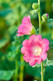 Beautiful malva flower Royalty Free Stock Photography