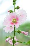 Beautiful malva flower Stock Image
