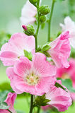 Beautiful malva flower. Close up Royalty Free Stock Images