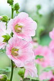 Beautiful malva flower. Close up Royalty Free Stock Photography