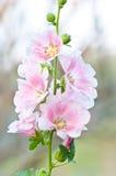 Beautiful malva flower Royalty Free Stock Images