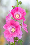 Beautiful malva flower. Close up Stock Image
