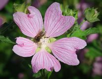 Beautiful malva (mallow) flower in close-up. And bee Royalty Free Stock Image