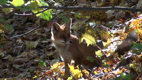Beautiful mammal fox in autumn  forest Royalty Free Stock Image