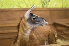 Beautiful mammal herbivore lama in the aviary Stock Photography