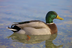 Beautiful Man Duck Stock Photography