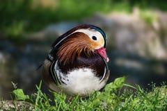 Beautiful Mandarin duck aix galericulata in the green grass. Beautiful Mandarin duck aix galericulata in green grass – closeup Royalty Free Stock Images