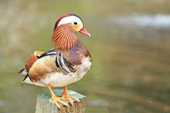 beautiful mandarin duck Royalty Free Stock Images