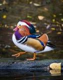 The Beautiful Mandarin Duck Stock Image