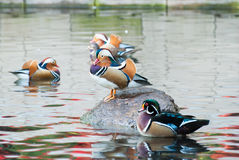 Beautiful mandarinian and wood ducks. Mandarinian both male and female and wood duck in Warsaw Lazienki park Stock Images