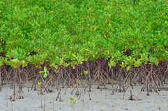 Beautiful mangrove. Plantations on the sea with roots showing Stock Photo