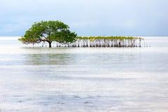 Beautiful mangrove tree growing on the seashore Stock Photography