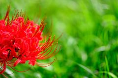 Beautiful manjusaka flowers. Beautiful red flowers full of grass, east a cluster of west a cluster Royalty Free Stock Photo