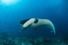 A beautiful manta gliding over a reef Royalty Free Stock Images