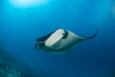 A beautiful manta gliding over a reef Stock Photography