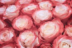 Beautiful many roses flowers background for wedding scene vintage style tone. Stock Image
