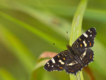 Beautiful map butterfly. Is resting on grass with copyspace Stock Photos