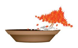 Beautiful Maple Bonsai in A Flower Pot Royalty Free Stock Photography
