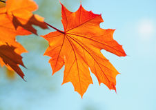 Beautiful maple leaf Royalty Free Stock Image