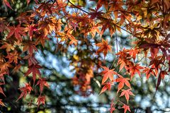 Beautiful maple leaf with bokeh and blur background in autumn.(01). Shoot in the garden stock photos