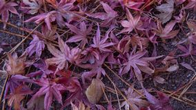 Beautiful Maple leave on ground stock photography