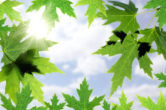 Beautiful maple leaves against the blue sky Stock Image