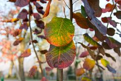 Beautiful maple leaves. Green, yellow, leaves Stock Photo
