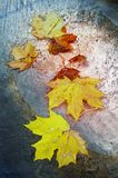 Beautiful maple leaves fallen on metallic surface Stock Image