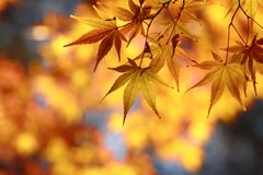 Beautiful maple leaves  in Japan Stock Photos