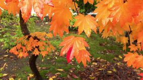 Beautiful maple leaves in japan autumn.