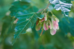 Beautiful maple seeds on branches with green leaves Stock Image