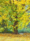 Beautiful maple tree in autumn park Stock Photos