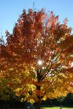 In the Fall, maple tree with the sun behind it on a cloudless day. stock photo