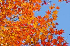 Beautiful Maples Stock Photography