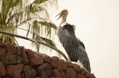Beautiful Marabou watching the zone. Stork-like bird, but larger, with a long, thick beak, black plumage on the back, gray on the chest and white under the wings stock image