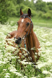 Beautiful mare with bridle Stock Photography