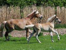 Beautiful Mare and Foal Royalty Free Stock Photography