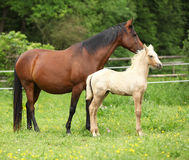 Beautiful mare with foal Royalty Free Stock Images