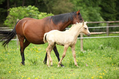 Beautiful mare with foal Stock Images